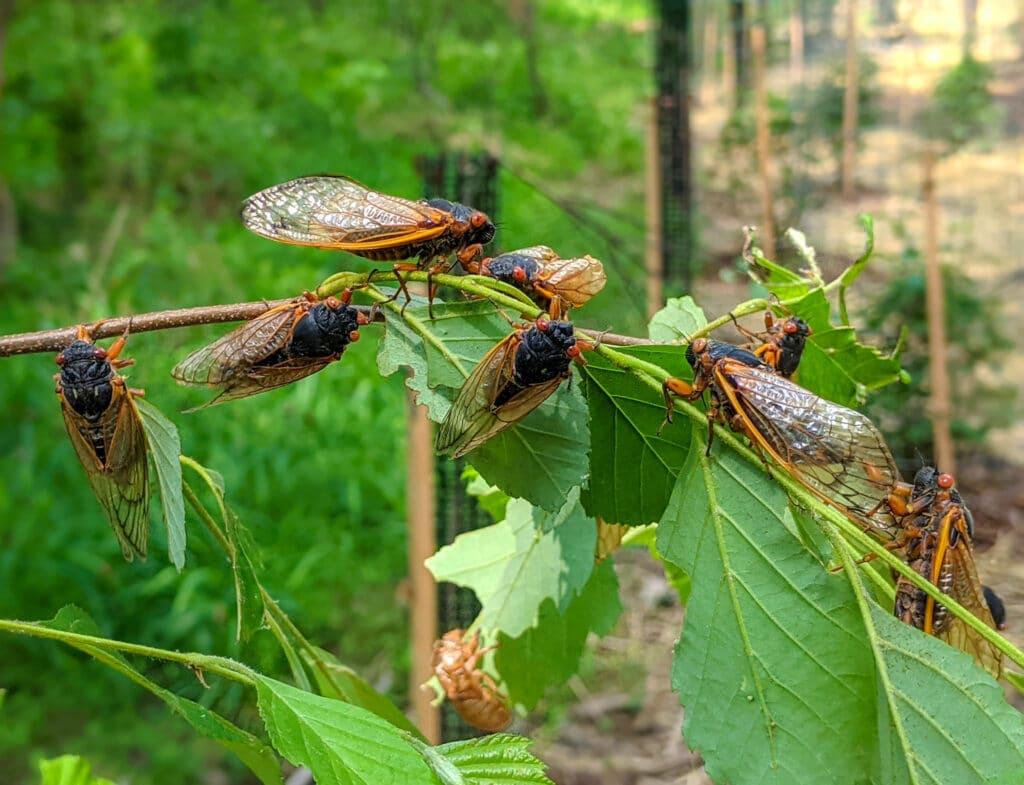 wild cicadas sitting on a branch