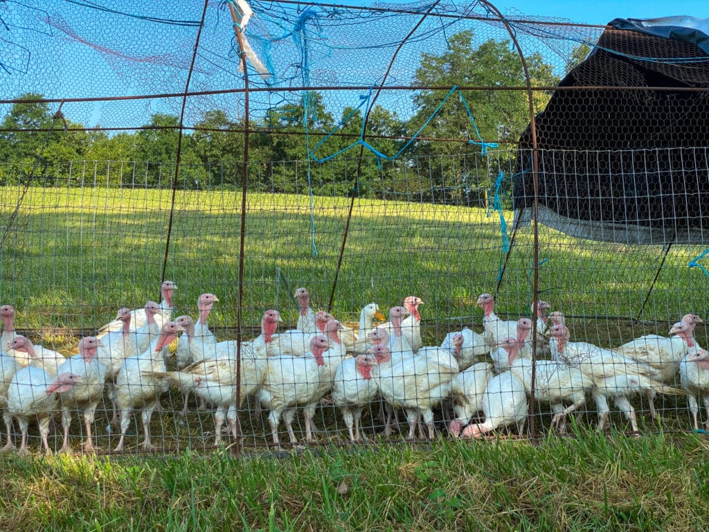 local turkeys from whispering breeze farm